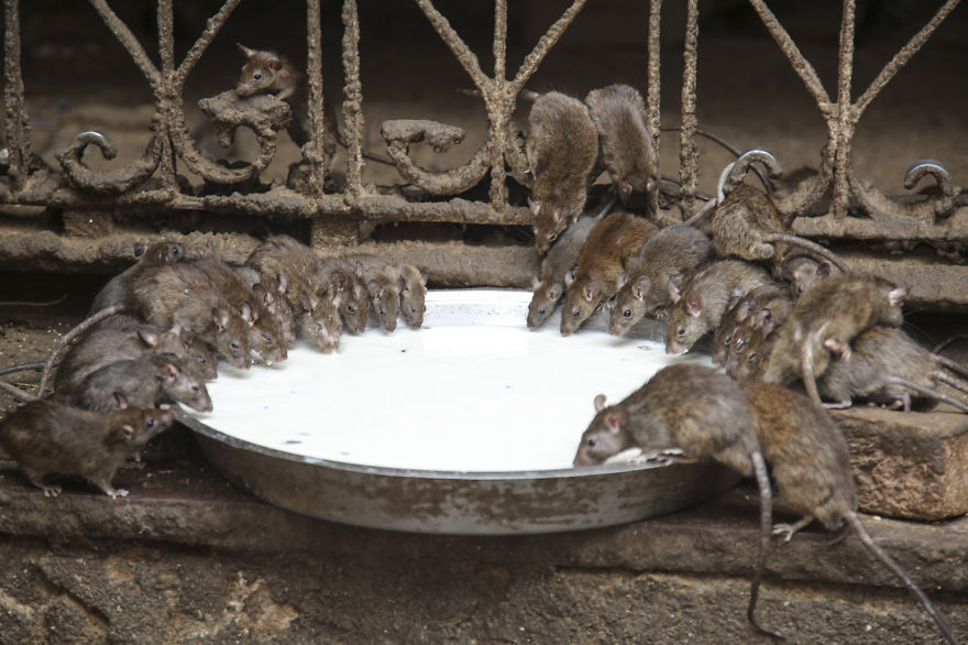 20000-Holy-Rats-Temple-In-India