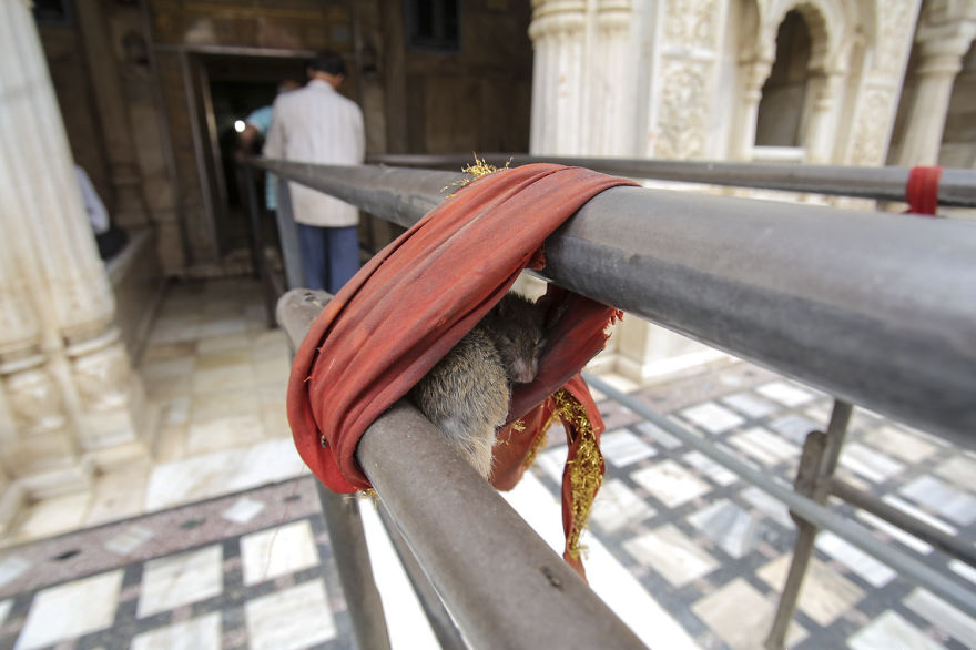 20,000-Holy-Rats-Temple-In-India (18)