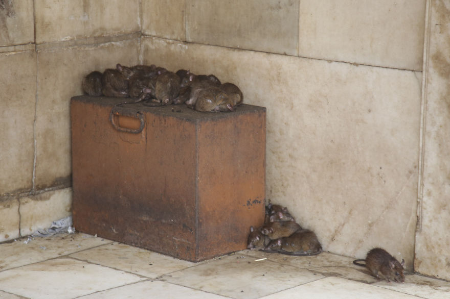 20,000-Holy-Rats-Temple-In-India (2)