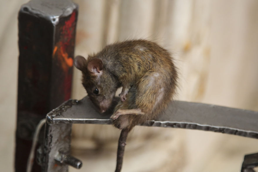 20,000-Holy-Rats-Temple-In-India (4)