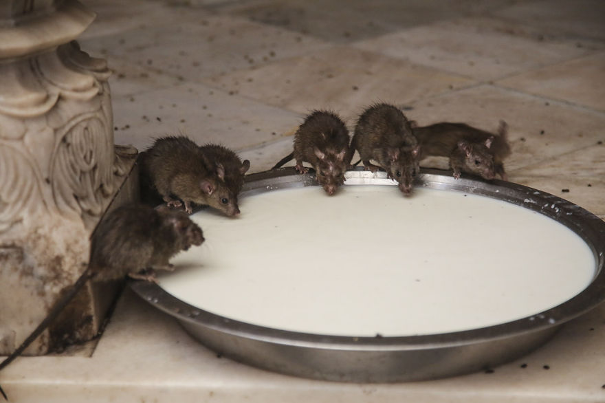 20,000-Holy-Rats-Temple-In-India (7)