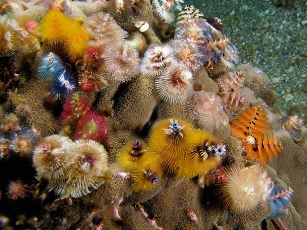 cool-marine-worm-look-like-christmas-trees-make-shining-ocean (1)