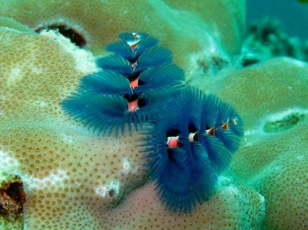 cool-marine-worm-look-like-christmas-trees-make-shining-ocean (4)