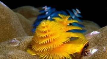 cool-marine-worm-look-like-christmas-trees-make-shining-ocean