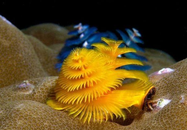 cool-marine-worm-look-like-christmas-trees-make-shining-ocean