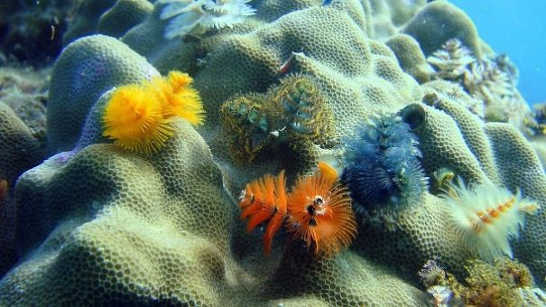 cool-marine-worm-look-like-christmas-trees-make-shining-ocean (6)
