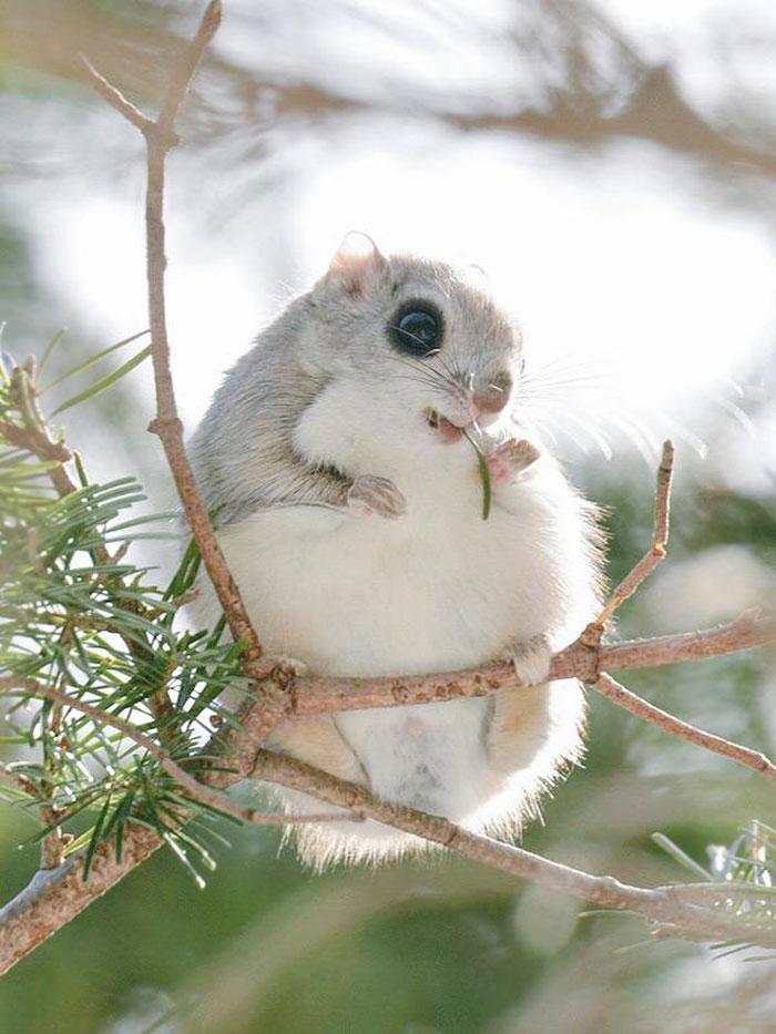 siberian-japanese-dwarf-flying-squirrel-1