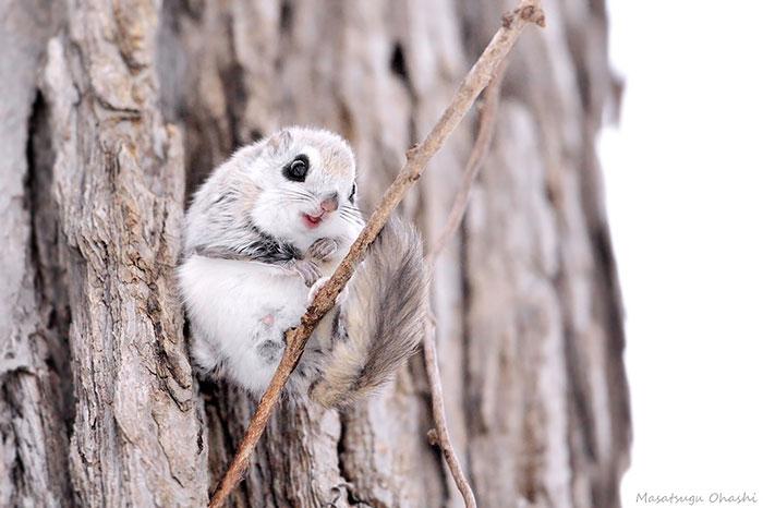 siberian-japanese-dwarf-flying-squirrel-11