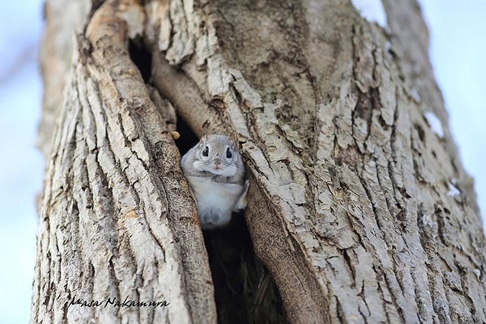 siberian-japanese-dwarf-flying-squirrel-15