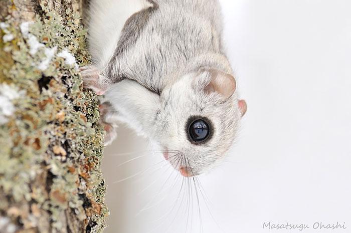 siberian-japanese-dwarf-flying-squirrel-16