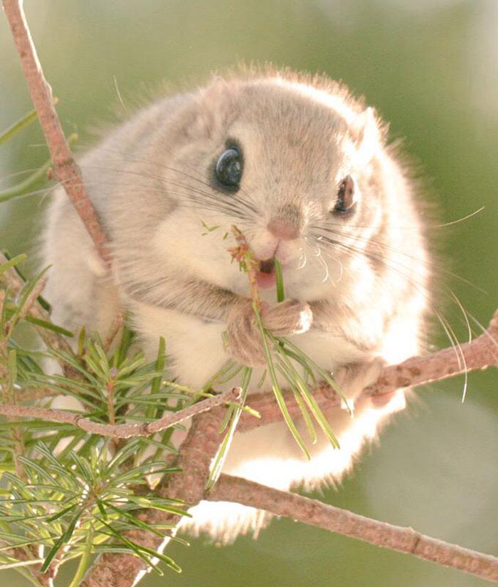 siberian-japanese-dwarf-flying-squirrel-2
