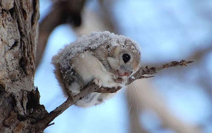 siberian-japanese-dwarf-flying-squirrel-20