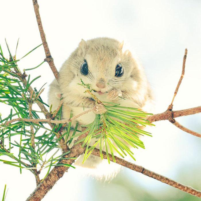 siberian-japanese-dwarf-flying-squirrel-4