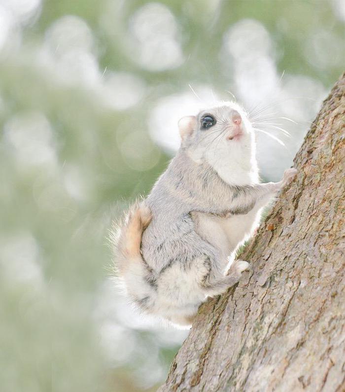 siberian-japanese-dwarf-flying-squirrel-5