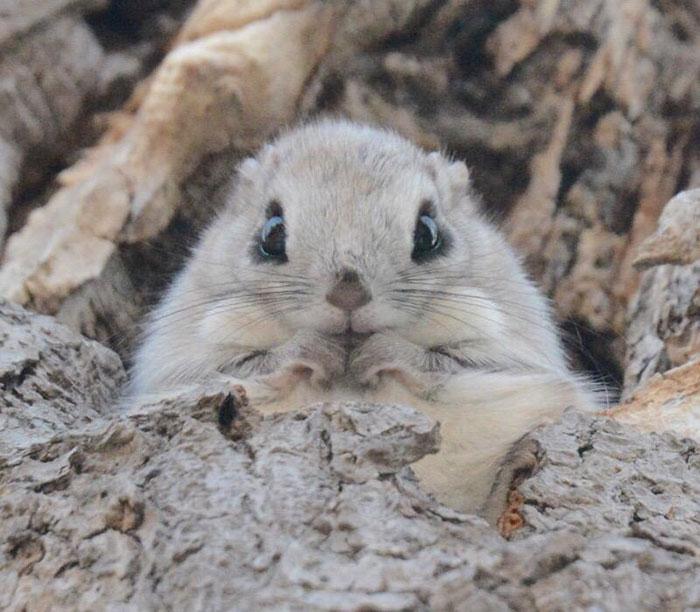 siberian-japanese-dwarf-flying-squirrel-6