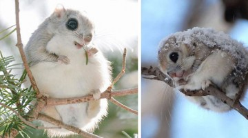 siberian-japanese-flying-squirrel-cutest-animals-On-Earth