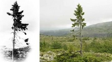 world-oldest-tree-old-tjikko-sweden