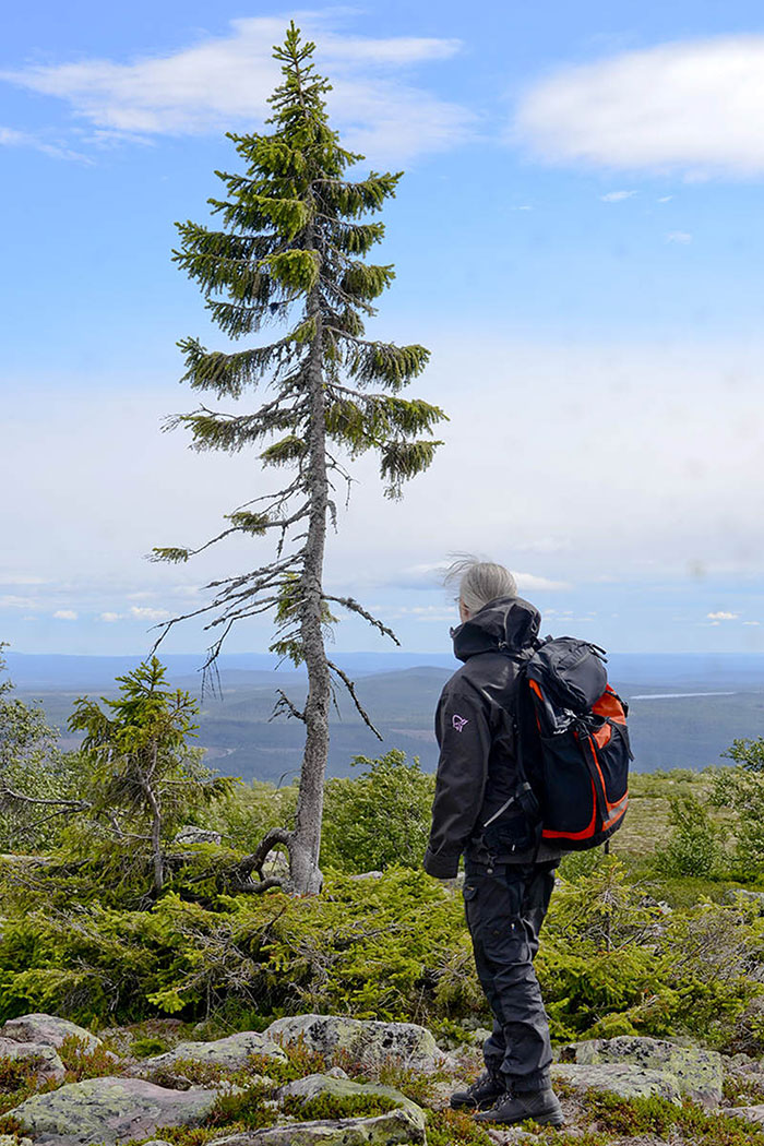 world-oldest-tree-old-tjikko-sweden (2)