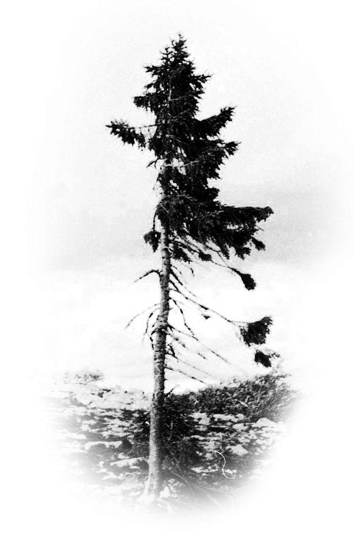 world-oldest-tree-old-tjikko-sweden (7)