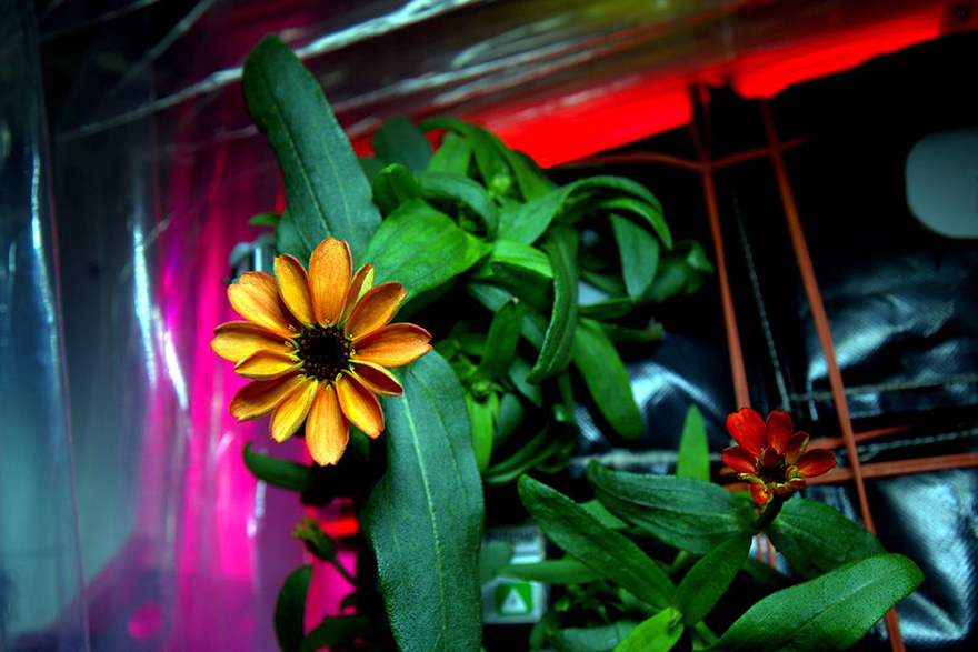 space-first-flower-Zinnias-bloom-nasa-scott-kelly-4