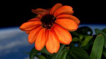 space-first-flower-Zinnias-bloom-nasa-scott-kelly