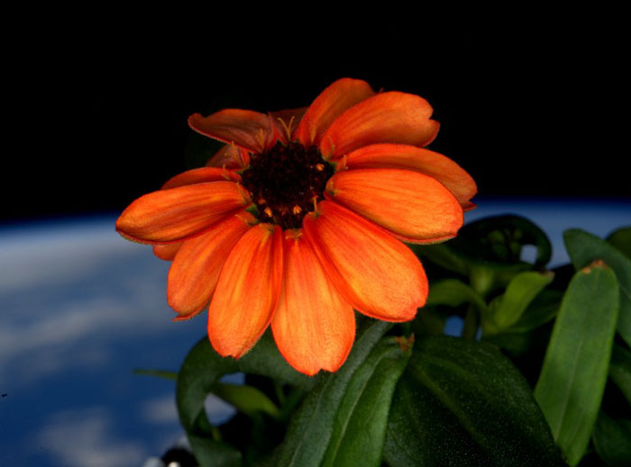 space-first-flower-Zinnias-bloom-nasa-scott-kelly
