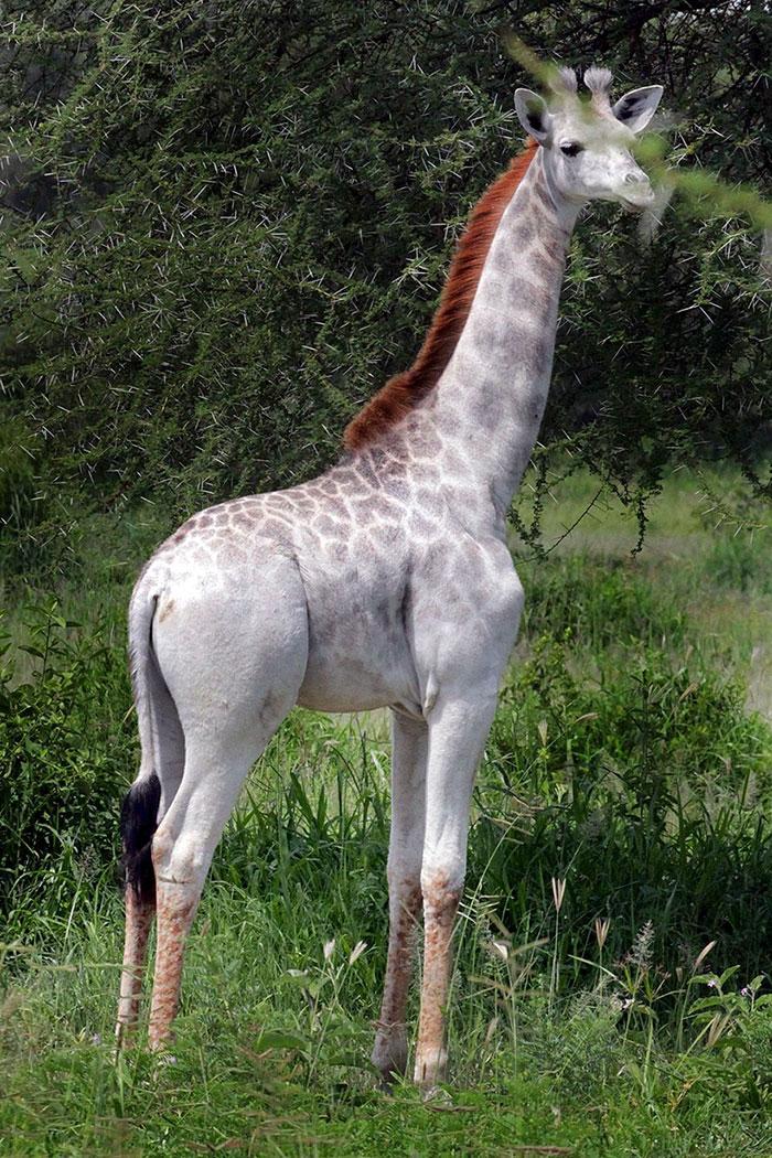 white-giraffe-leucism-albino-rare-animals-omo-tanzania (2)