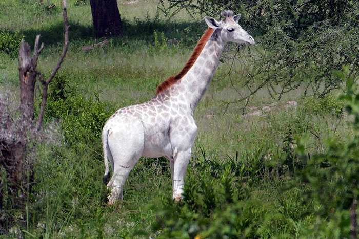 white-giraffe-leucism-albino-rare-animals-omo-tanzania (3)