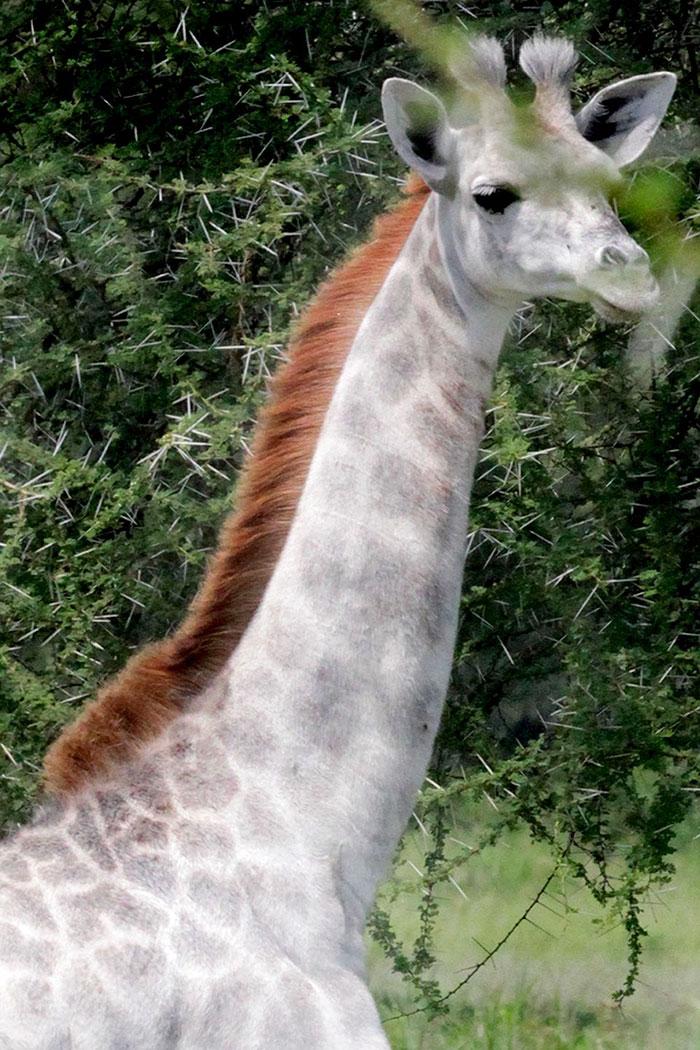 white-giraffe-leucism-albino-rare-animals-omo-tanzania (4)