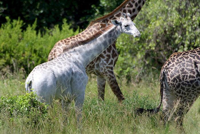 white-giraffe-leucism-albino-rare-animals-omo-tanzania (5)