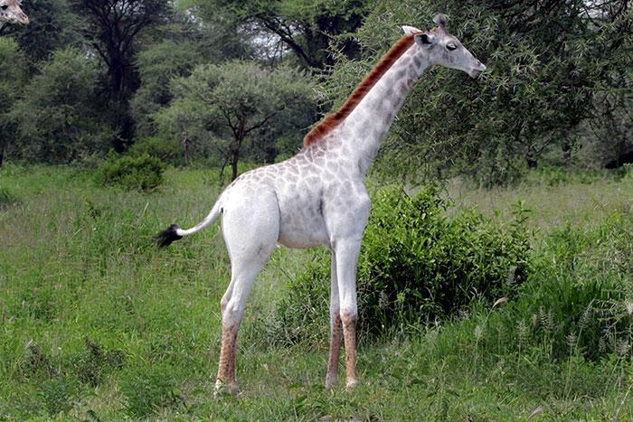 white-giraffe-leucism-albino-rare-animals-omo-tanzania (6)