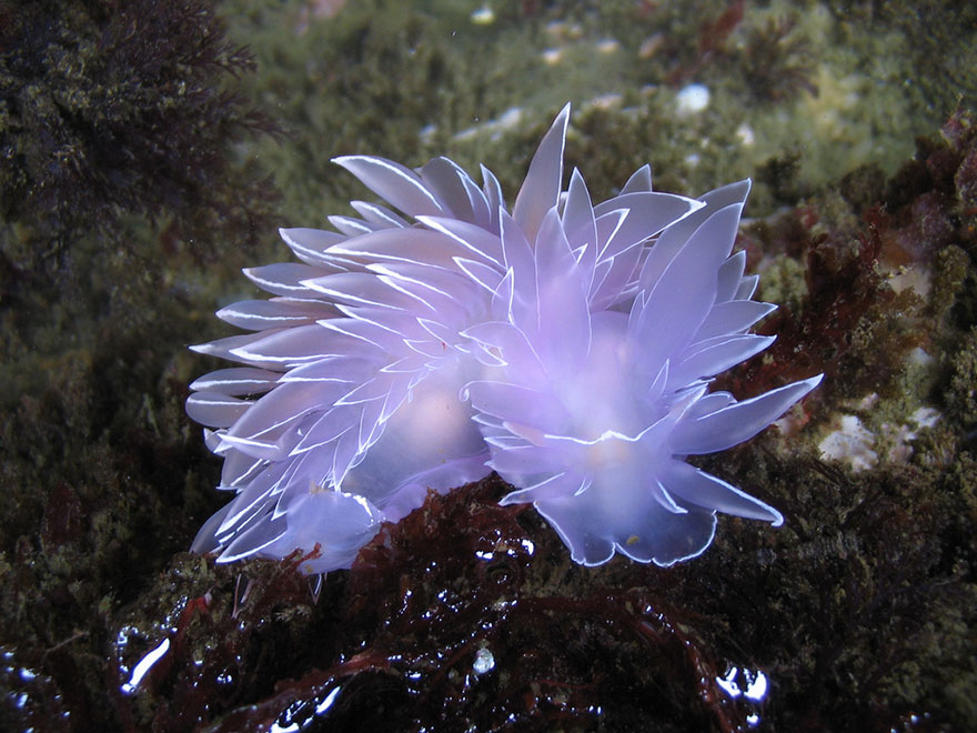 beautiful-unusual-sea-slugs-5