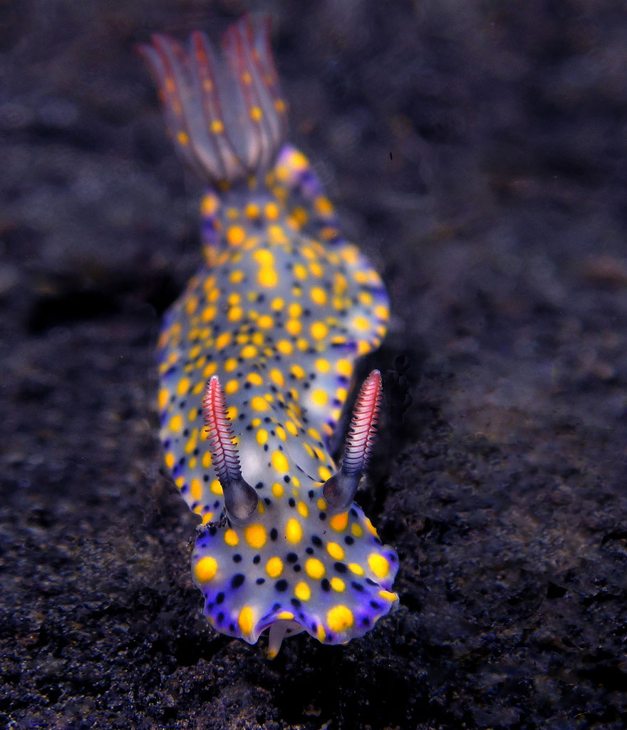 beautiful-unusual-sea-slugs-8