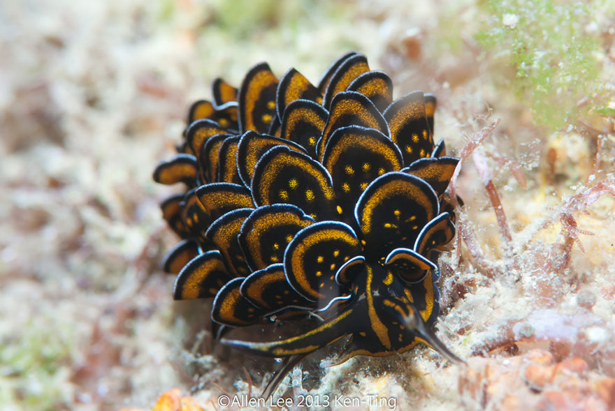 beautiful-unusual-sea-slugs-9