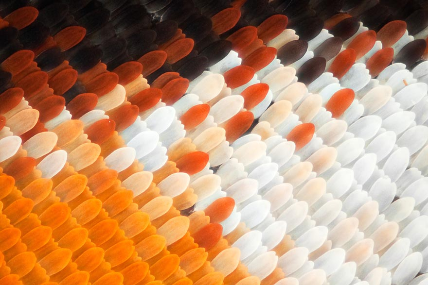 butterfly-wing-macro-photography-linden-gledhill-biochemist (9)