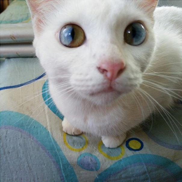 cat-eyes-different-colors-heterochromia (10)