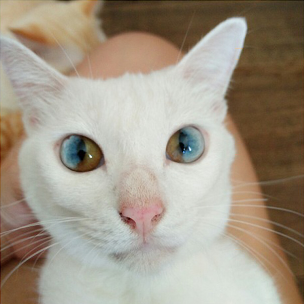 cat-eyes-different-colors-heterochromia (12)