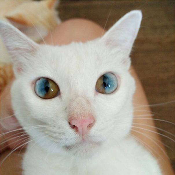 cat-eyes-different-colors-heterochromia (12)