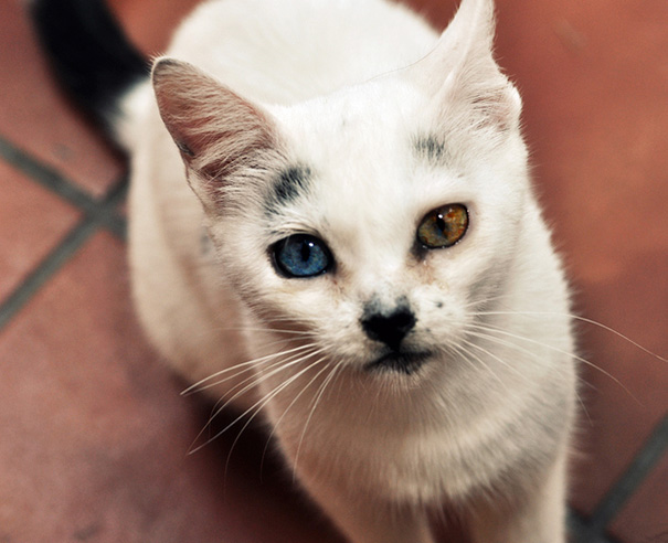 cat-eyes-different-colors-heterochromia (2)