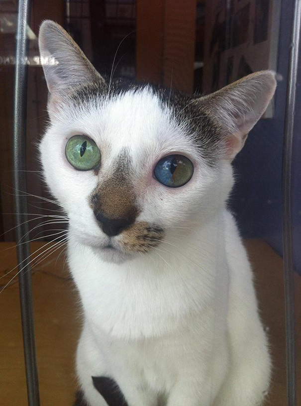 cat-eyes-different-colors-heterochromia (3)