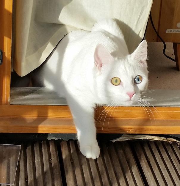 cat-eyes-different-colors-heterochromia (4)