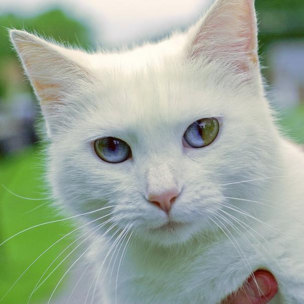 cat-eyes-different-colors-heterochromia (5)