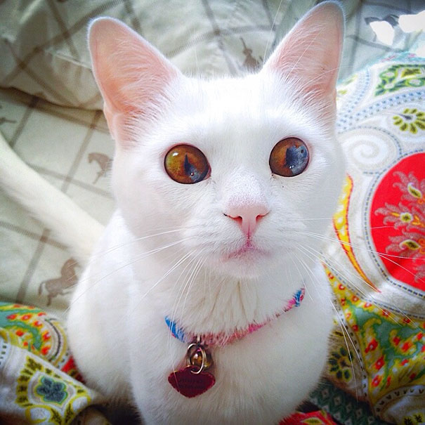 cat-eyes-different-colors-heterochromia (6)