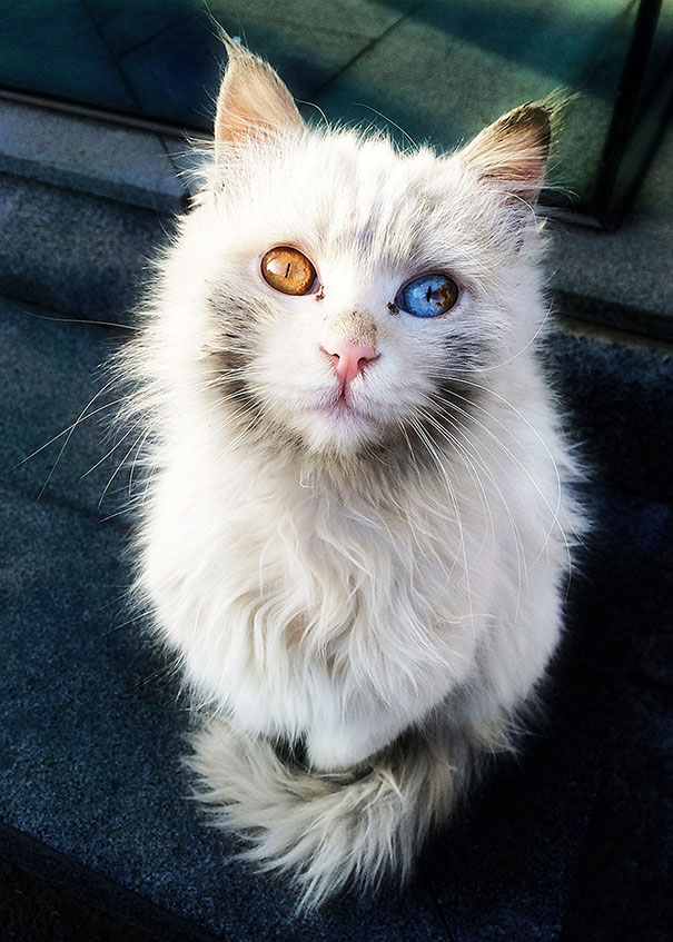 cat-eyes-different-colors-heterochromia (7)