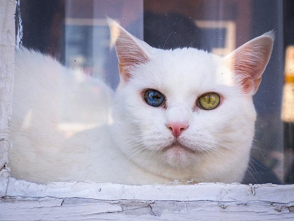 cat-eyes-different-colors-heterochromia (8)