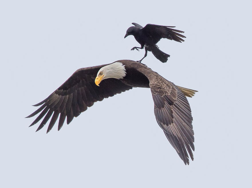 crow-rides-eagle-bird-photography-phoo-chan-2