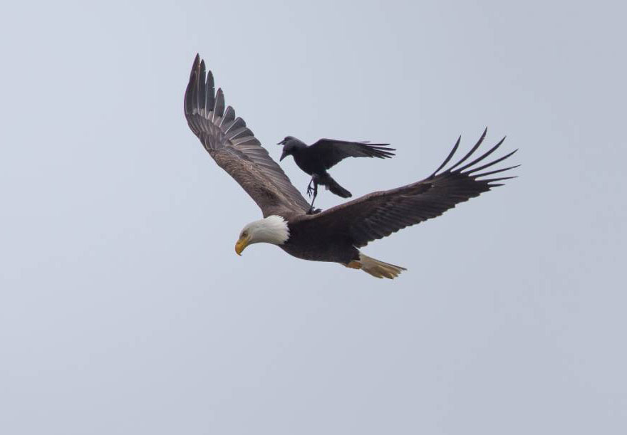 crow-rides-eagle-bird-photography-phoo-chan-3