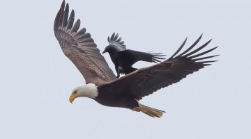 crow-rides-eagle-bird-photography-phoo-chan