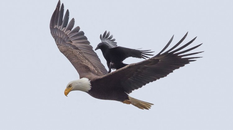 crow-rides-eagle-bird-photography-phoo-chan