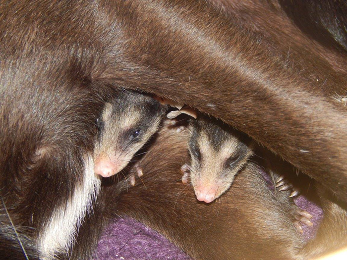 dog-adopts-opossums-baby-orphans-stephanie-maldonado (4)